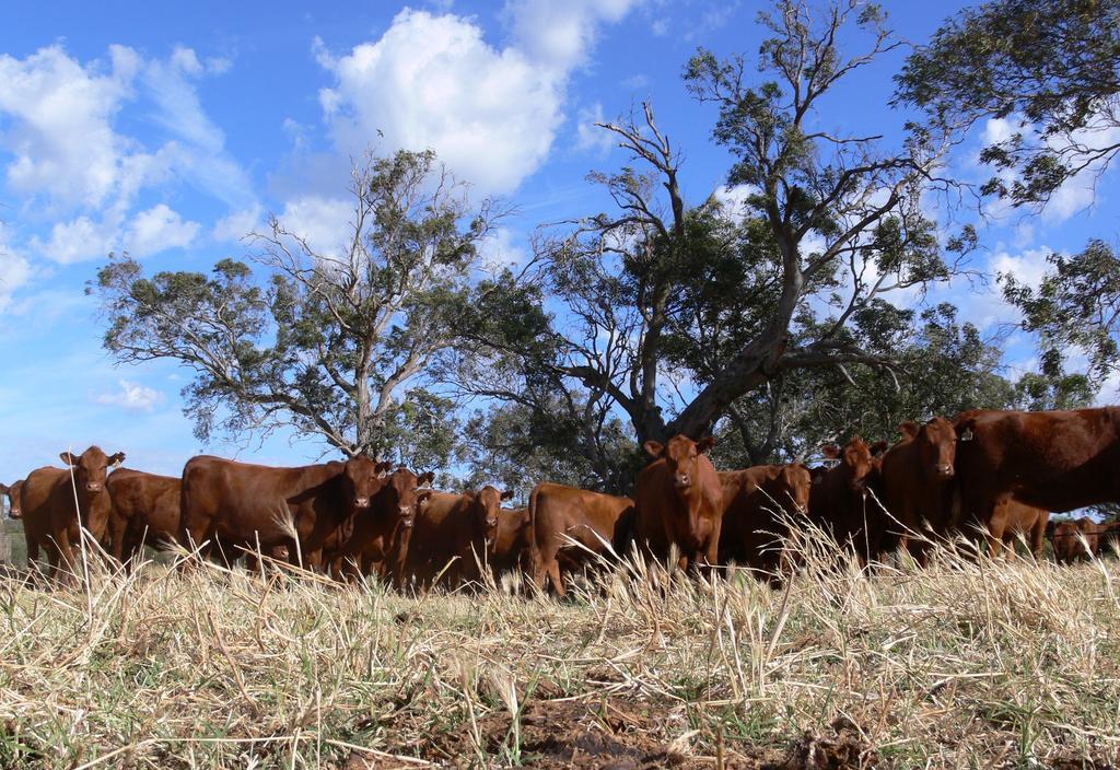 Tronar heifers head to China