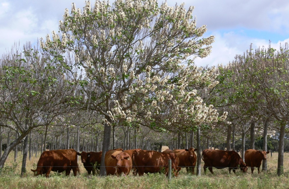 Why we choose Red Angus