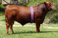 Tronar Jeb awarded Grand Champion Bull
