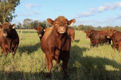 Tronar Red Angus bulls for sale 2016