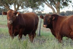 Tronar Red Angus bulls for sale 2016